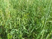 Plantas de cobertura garantem a proteção do solo e dos investimentos feitos em correção da fertilida